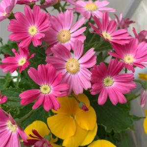 ベランダの花の色が薄くなってきたんですけど…(´△`)↓