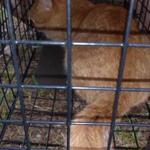 親子で捕獲、、子猫2匹はまだ