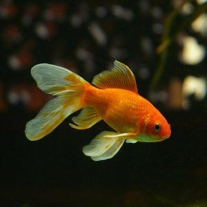 魚+付は漢字で何?金魚の進化前の魚!まるでポケモンwww