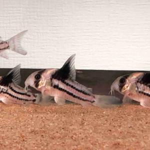 コリドラスを飼育したくなる5つの魅力について分かりやすく説明します。