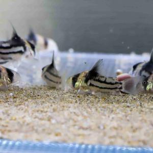 コリドラス飼育の適正水槽サイズと素材、適正飼育数について分かりやすく説明します。