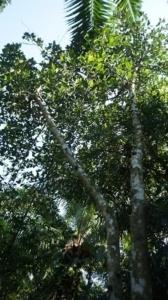 ジャックフルーツの果実は木材がくっつく程の強力な樹液を出す/この恐ろしい話は都市伝説なのか