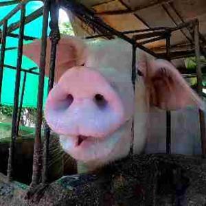 ビビちゃん子豚を買う/御猫様の高貴なるお食事/コメントピックアップ