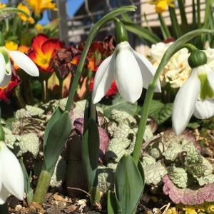 スズランのような白くて可憐な花、スノードロップが開花!