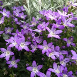 花壇に青い星が瞬く! カンパニュラ・アルペンブルー 1年目