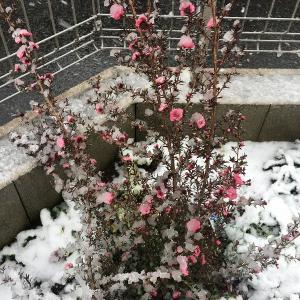 雪に耐えて梅花麗し(その2)〜本当に雪に耐える花たち