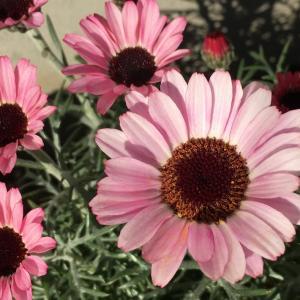 冬の庭に撫子色の彩り! ローダンセマム・リルピンク