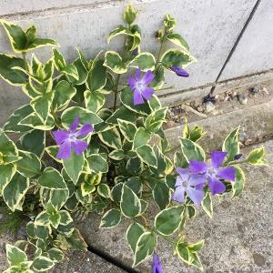 ドブの脇から花が…!! たくましいツルニチニチソウの開花