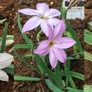ホントに植えっぱなしOK! 無数の星を咲かせるハナニラ(イフェイオン)