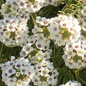 真冬でも咲くスーパーアリッサム! 花壇からこぼれて咲き誇る冬〜春の様子