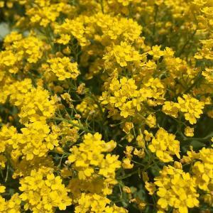 黄色いアリッサムはいかが? 黄花アリッサム「サミット」