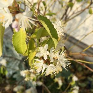 わが家のシンボルツリー、2年目のハイノキがついに開花!