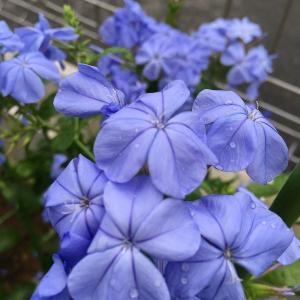 神秘的な青紫の花に吸い込まれる! ルリマツリ(プルンバーゴ)