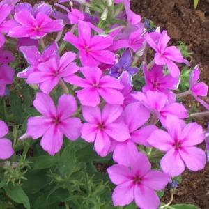 赤紫色の花が無数に咲き続ける! フロックス コンフェッティラベンダー