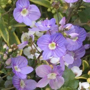 薄紫色のオックスフォードブルー!?  ベロニカ・ウォーターペリーブルー