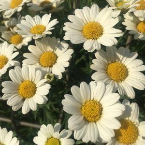 やっぱりマーガレットもラベル付きが強いか!? ドーム状に花いっぱい!