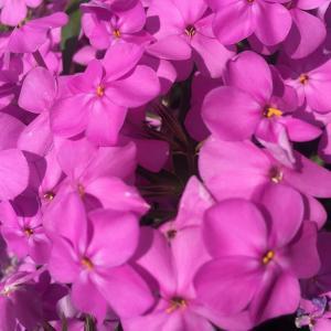 ボーダーガーデン中段にピンクの彩りを! フロックス・フォーエバーピンク