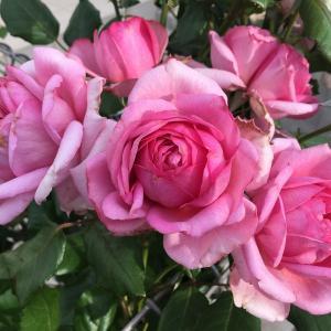 ローズ・ポンパドゥール、初夏の2番花!春後のお礼肥から再開花まで。シュート三兄弟が元気いっぱい!