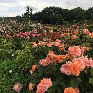 【2020年7月】京成バラ園に行ってきました!夏バラは今が見頃!