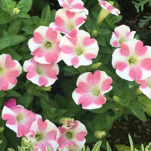 花びらにハートの模様が素敵なペチュニア! サフィニアアート・ももいろハート