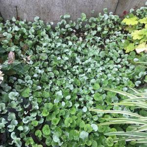 庭の片隅のグランドカバー、ダイカンドラ・シルバーフォールズが今年も復活!