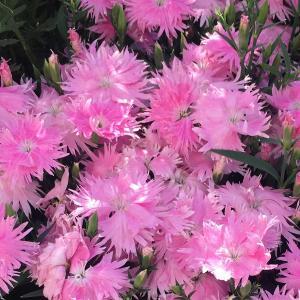 ノーブランドのナデシコも十分楽しめる! 飛び立つような花姿が素敵!