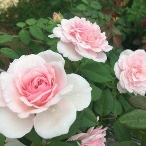 2年目のオリビアローズオースチン・夏~秋の花