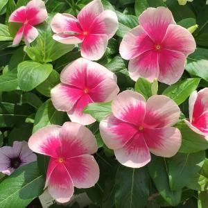 輝くようなピンクと白のコントラスト! ビンカ(ニチニチソウ)ニルバーナカスケード