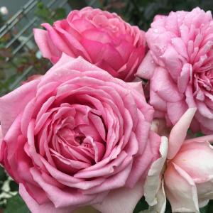 2年目のローズ・ポンパドゥール・夏~秋の花