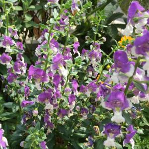 涼しげな紫と白のコントラスト! アンゲロニア・エンジェルフェイス 成長記録