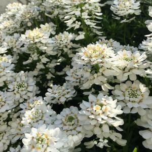 常緑で春に毎年咲く! 3年目のイベリス・ブライダルブーケが満開!