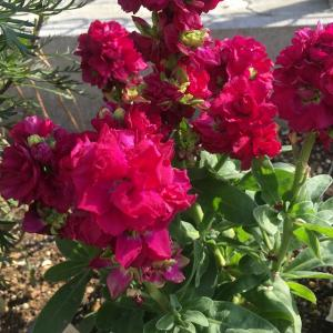冬の花壇後方の強い味方! ストック・ベイビー(ピンク)