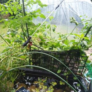 トマトの雨宿り