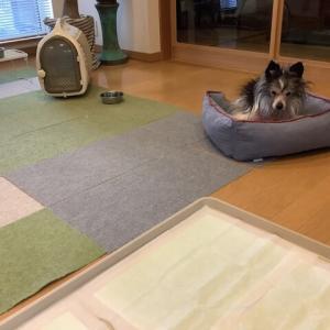 【預かり犬】今日引き取られました、予想外に寂しい
