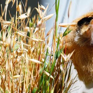 【エンドレス栽培はできる?】猫草に種ができたので収穫し育ててみた。