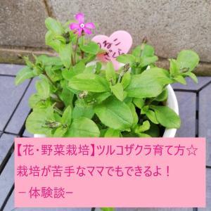 【花・野菜栽培】ツルコザクラ育て方☆栽培が苦手なママでもできるよ!-体験談-