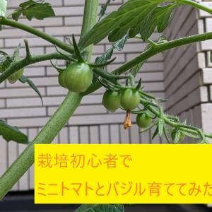 【食育】栽培初心者でミニトマトとバジル育ててみた!