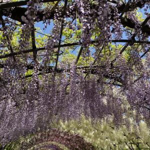 藤の花に見惚れながら蜂に騒ぐ