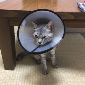 母猫が避妊手術を終えて帰宅→子猫の反応に困った話