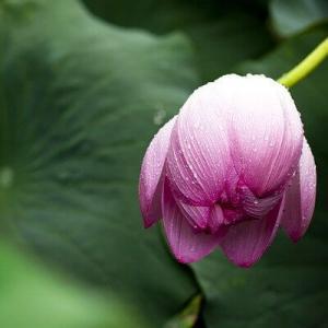 美容化粧成分浸透ボタニカルオイルと角層保湿なハス花フラワーエキス