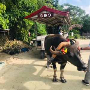 水牛車で竹富島散策、絶品かき氷屋さん「パーラーぱいぬ島」をご紹介