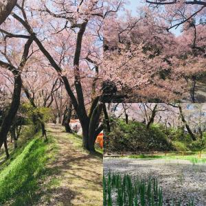 天下第一の桜 高遠城址公園の桜に魅せられる【長野県伊那市】