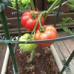 トマト初収穫  麗夏
