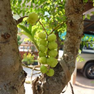 梅のような果実「マヨム」