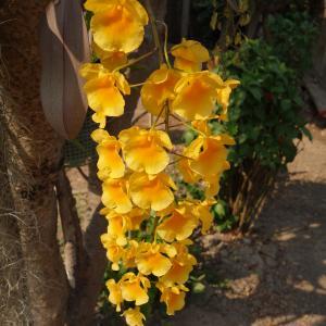 綺麗な黄色のランが咲いてました