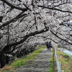 ぶらりとカメラを片手に・・・。天気がイマイチでしたが今年の桜~ (^_^)ゞ