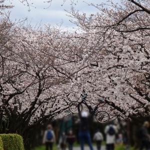 桜散歩(*´◒`*)