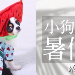 【VLOG】吉娃娃的一郎|小狗的暑假|游泳池|#6