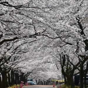 今年の桜は80点 長岡技術科学大学構内