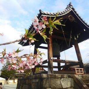 東寺にて大日堂周辺の桜